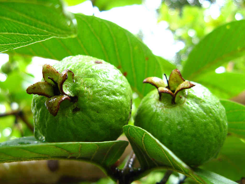 Guava to reduce blood sugar
